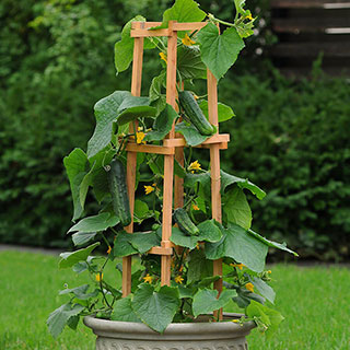 Patio Snacker Cucumber Seeds