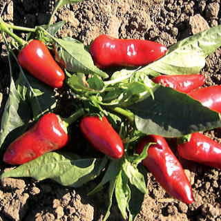 Fresno Pepper Seeds