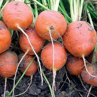 Atlas Carrot Seeds