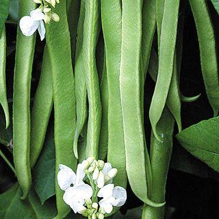 Stardust Bean Seeds