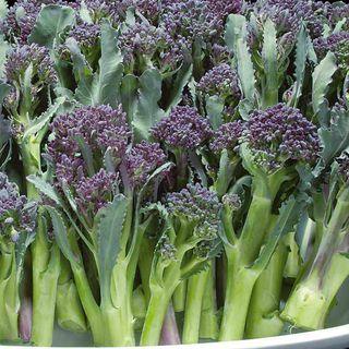 Summer Purple Hybrid Broccoli Seeds