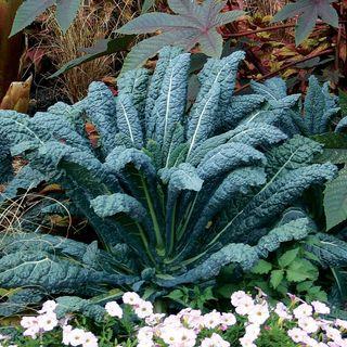 Lacinato Kale Seeds