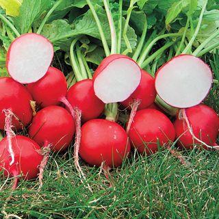 Roxanne Hybrid Radish Seeds