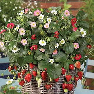 Rainbow Treasure Strawberry Seeds