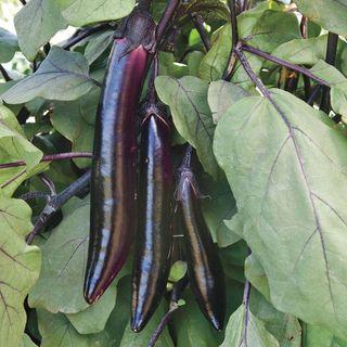 Shikou Hybrid Eggplant Seeds