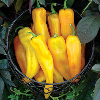 Mama Mia Giallo Hybrid Sweet Pepper Seeds