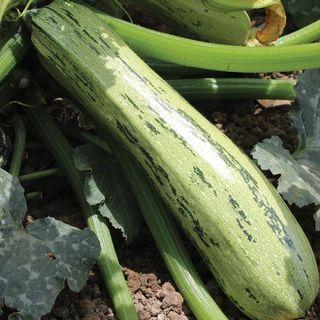 Bossa Nova Hybrid Squash Seeds