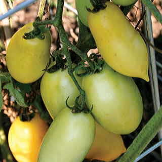 Cream Sausage Tomato Seeds