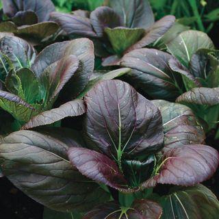 Purple Hybrid Pak Choi Seeds