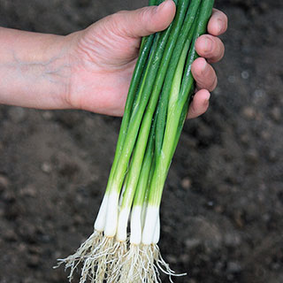 Guardsman Onion Seeds