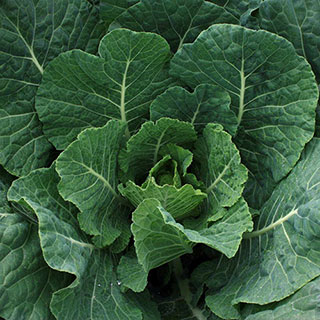 Tiger Hybrid Collards Seeds