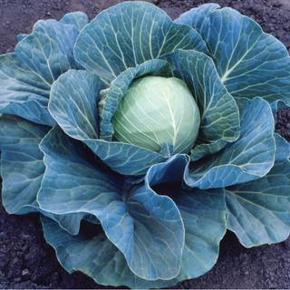 Stonehead Hybrid Cabbage Seeds