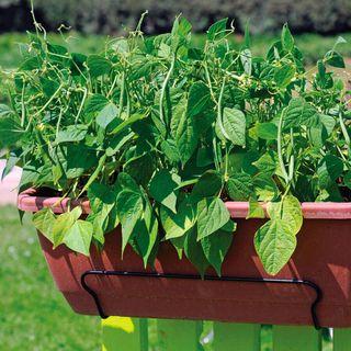 Mascotte French Filet Bush Bean Seeds Image