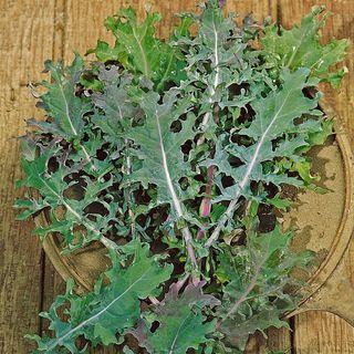 Russian Blend Kale Seeds