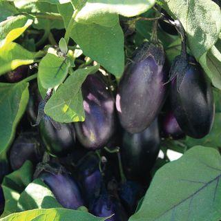 Patio Baby Hybrid Eggplant Seeds Image