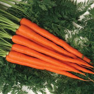 Candysnax Hybrid Carrot Seeds