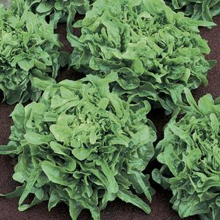 Know Before You Grow: Lettuce and Greens