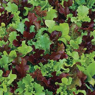 Micro Mini Greens Lettuce Seeds