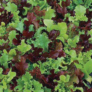 Micro Mini Greens Lettuce Seeds