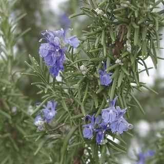 SimplyHerbs™ Rosemary Seeds Image