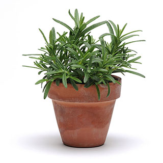 SimplyHerbs™ Rosemary Seeds
