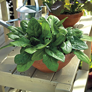 Imperial Green Hybrid Spinach Seeds