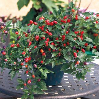 Loco Hybrid Pepper Seeds