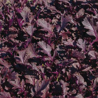 Miz America Mizuna Seeds