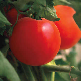 Charger Hybrid Tomato Seeds