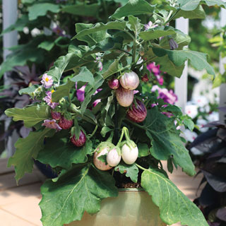 Pinstripe Hybrid Eggplant Seeds