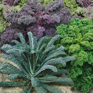 Organic Kale Garden Blend