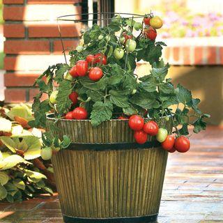 Little Napoli Hybrid Tomato Seeds