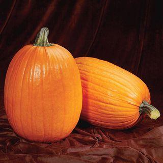 Captain Jack Hybrid Pumpkin Seeds