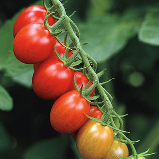 Sugar Rush Hybrid Tomato Seeds