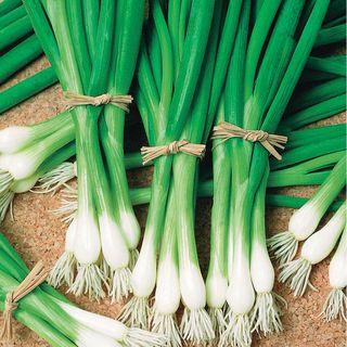 Warrior Bunching Onion Seeds