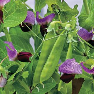 Little SnowPea Purple Seeds