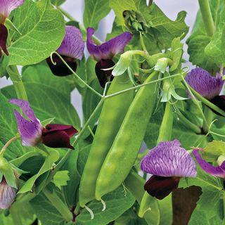 Little SnowPea Purple Seeds