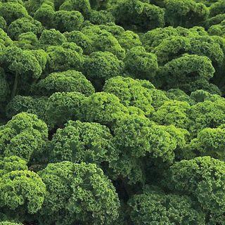 Prizm Hybrid Kale Seeds