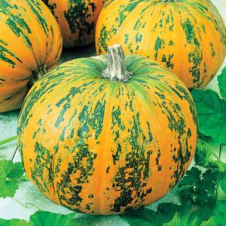 Pepitas Hybrid Pumpkin Seeds