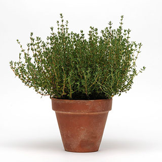 SimplyHerbs™ Thyme Seeds