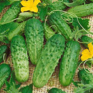 Pick a Bushel Hybrid Cucumber Seeds