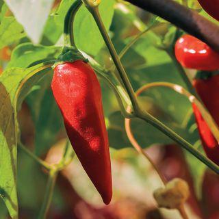 Tabasco Pepper Seeds