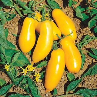 El Dorado Hybrid Tomato Seeds