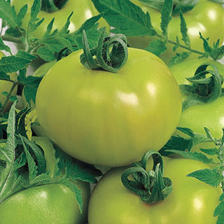 Fried Green Tomato Hybrid Tomato Seeds