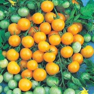 Honeybee Hybrid Tomato Seeds