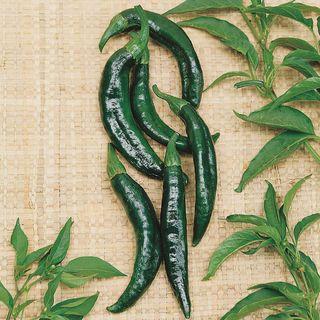 Pasilla Bajio Pepper Seeds