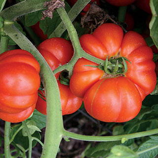 Mortgage Lifter Tomato Seeds