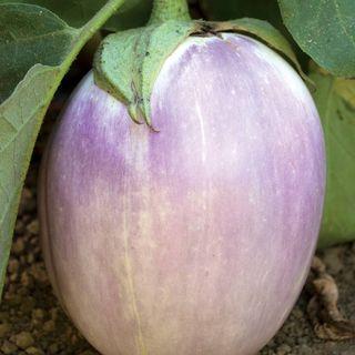 Rosa Bianca Organic Eggplant Seeds