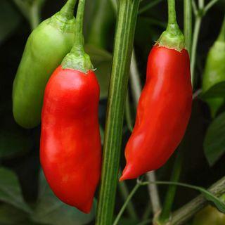 Aji Rico Hybrid Pepper Seeds