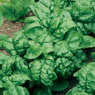 Bloomsdale Organic Hybrid Spinach Seeds
